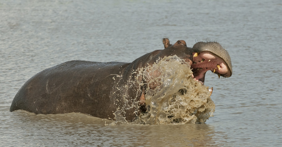 This Hippo was just showing off, trying to scare us, it did not work