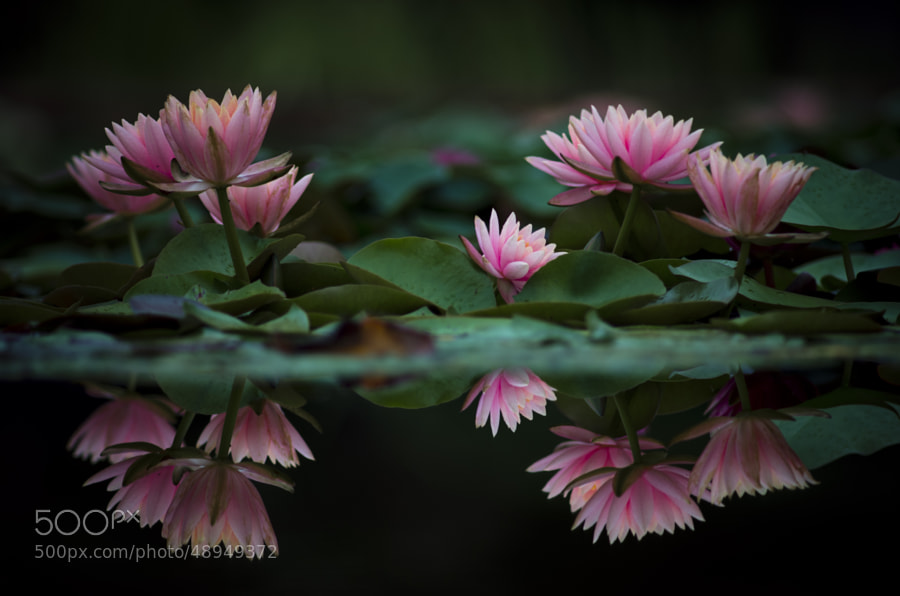 Photograph   water lily? by Takeshi Hata on 500px