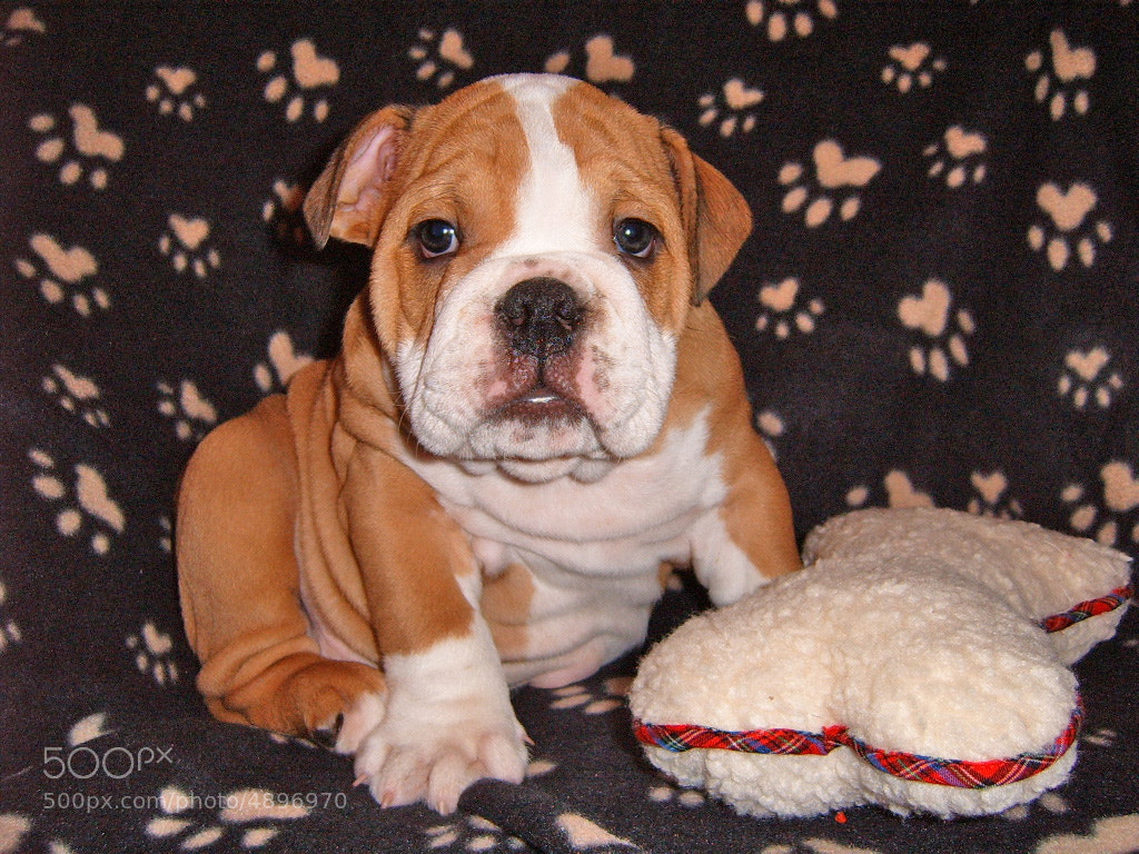 Photograph British Bulldog Puppy by Steve Wallace on 500px