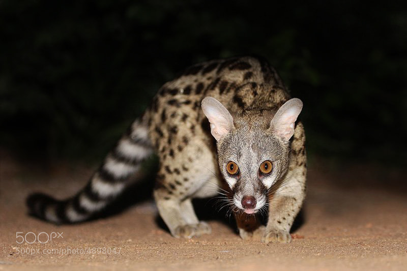 Photograph Civet by Chris Kotze on 500px