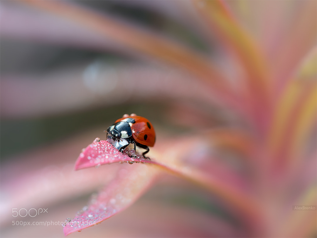 Photograph Coccinella in Pink by Alex Brenko on 500px