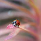 ������, ������: Coccinella in Pink