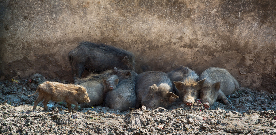 Digital color image of sleeping pigs and a piglet, taken near a slum (Indore, India)