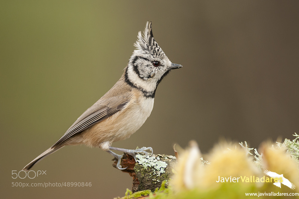 Photograph Crested Tit (Parus cristatus) by Javier Valladares on 500px
