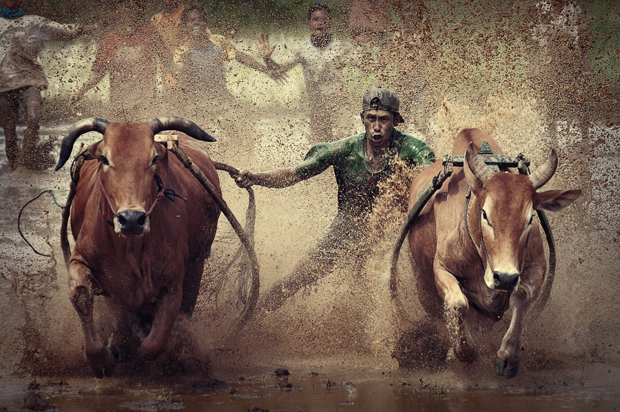 Photograph Pacu Jawi ( Cow Racing ) by adib muhandis on 500px