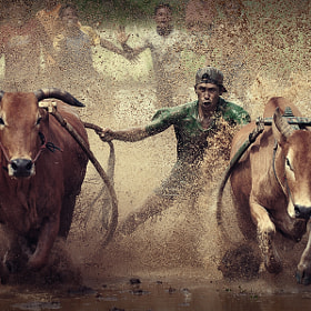 Pacu Jawi ( Cow Racing ) by adib muhandis (ndieztudio)) on 500px.com