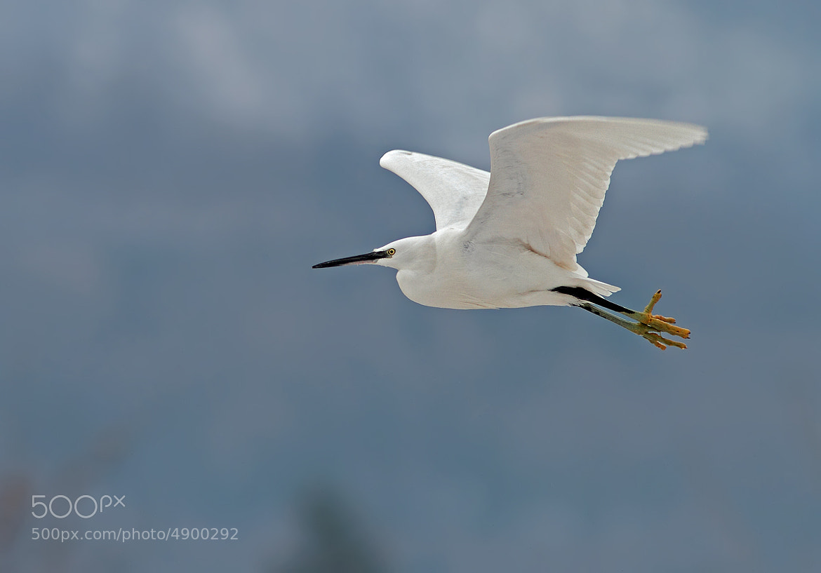 Photograph Little Egret by Ivan Martini on 500px