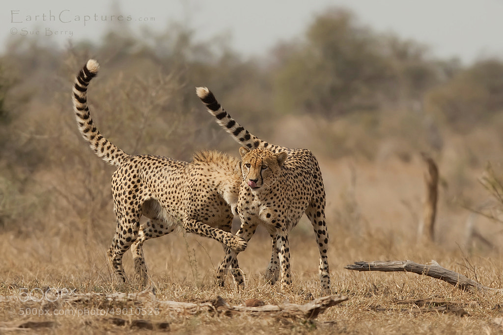 Photograph Playing Cheetah by Sue Berry on 500px