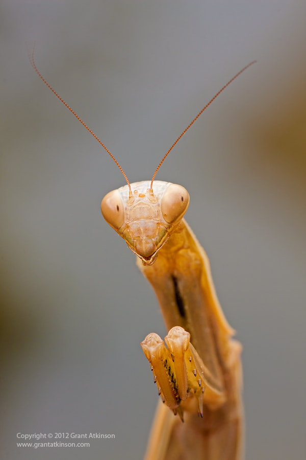 Photograph Mantis by Grant Atkinson on 500px