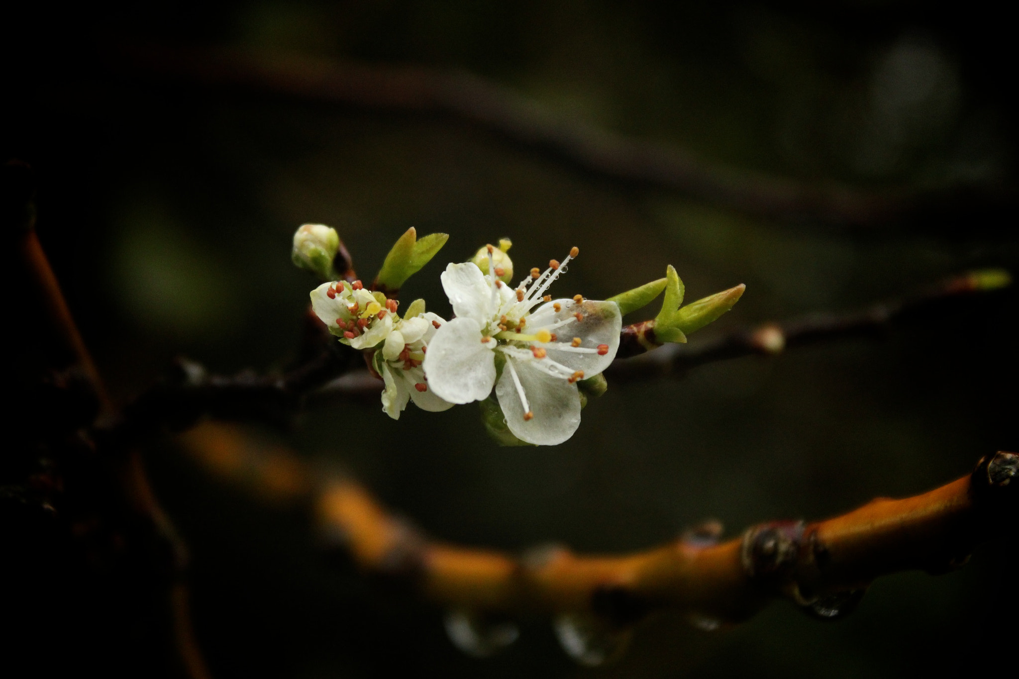 Photograph White Blossom by Jacca  Deeble  on 500px