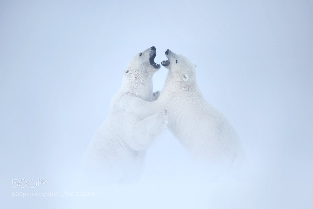 Photograph Polar Bear Fight by Matthew Studebaker on 500px
