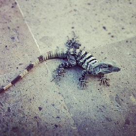 Iguana by Oleg Gutsol (oleggutsol)) on 500px.com