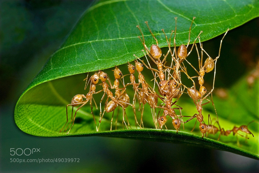 Photograph Weaver ants mending nest_P.Karunakaran by Karunakaran  Parameswaran Pillai on 500px