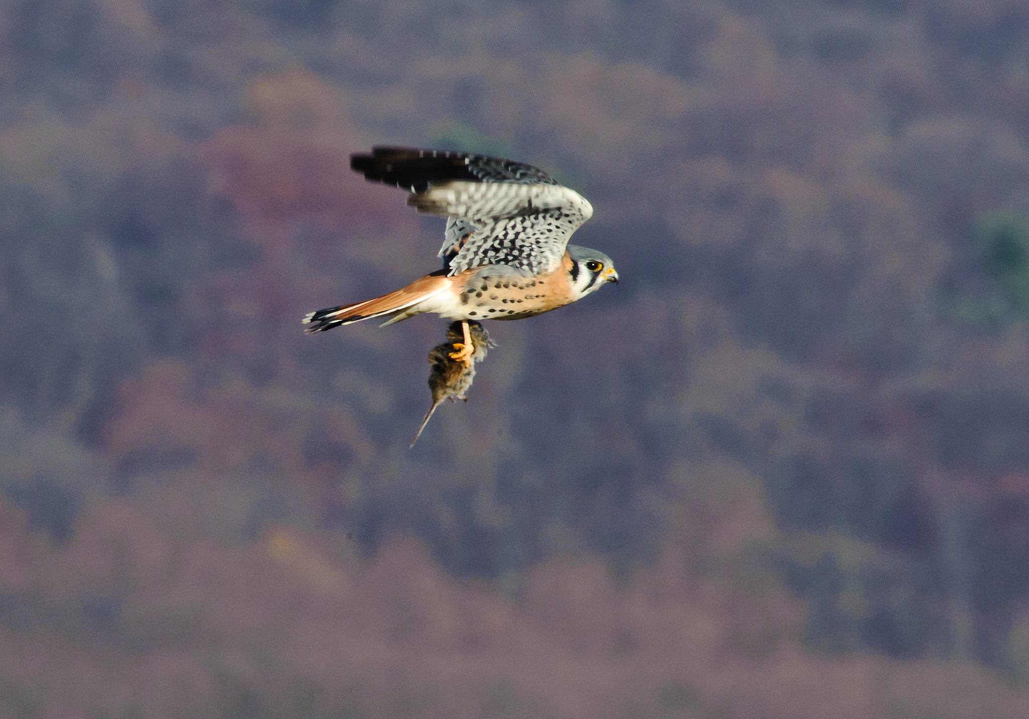 Photograph Kestrel with prey by Steven Kersting on 500px