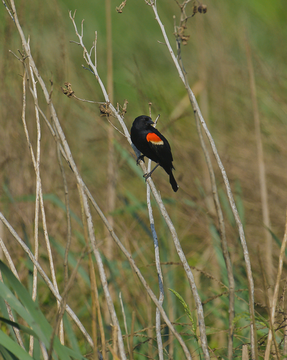 Photograph Red Wing Black Bird by Steven Kersting on 500px