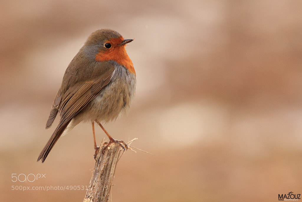 Photograph robin  by mazouz abdelaziz on 500px