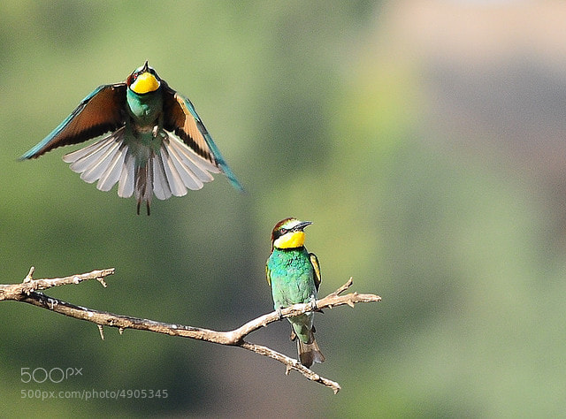 Photograph european bee eater  by mazouz abdelaziz on 500px