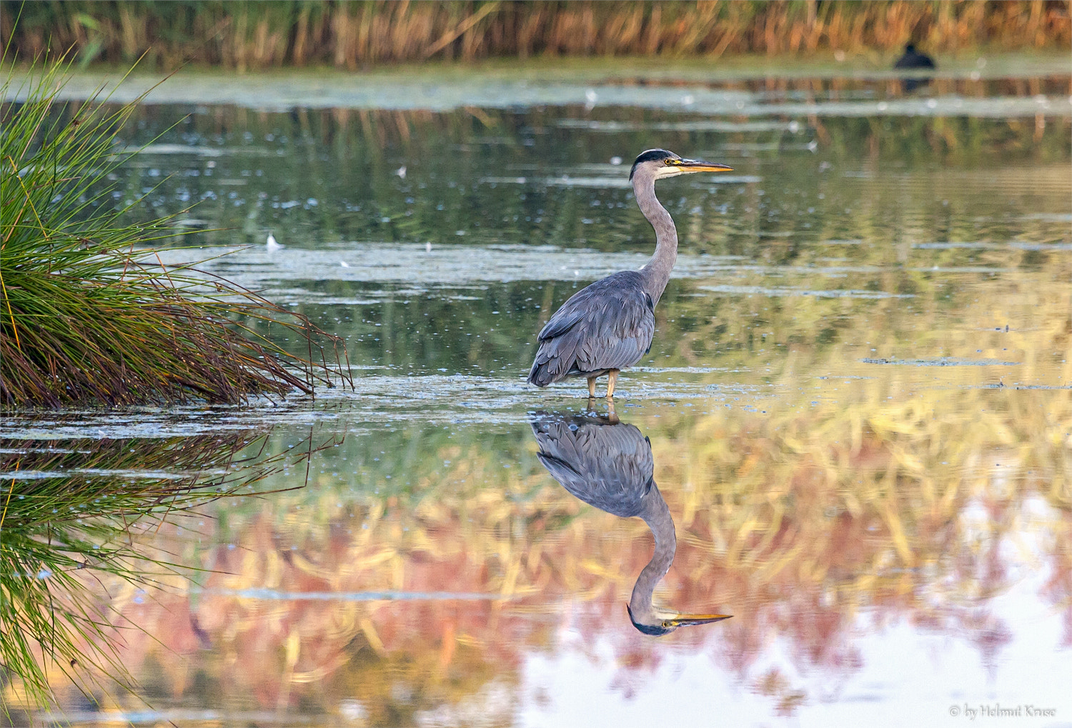 Photograph Reflection of Grey Heron by Helmut Kruse on 500px