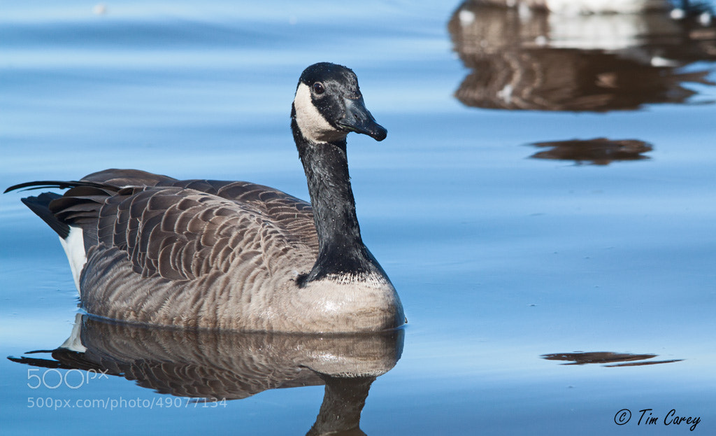 Photograph Canada Goose by Tim Carey on 500px