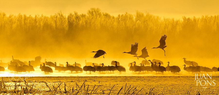 Photograph Sandhill Cranes in the fire mist, Bosque del Apache NM by Juan Pons on 500px