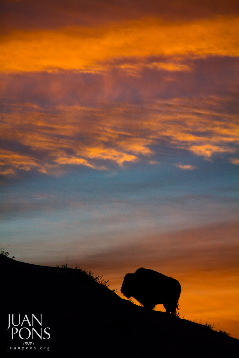 Photograph Bison Sunset, Yellowstone National Park WY by Juan Pons on 500px