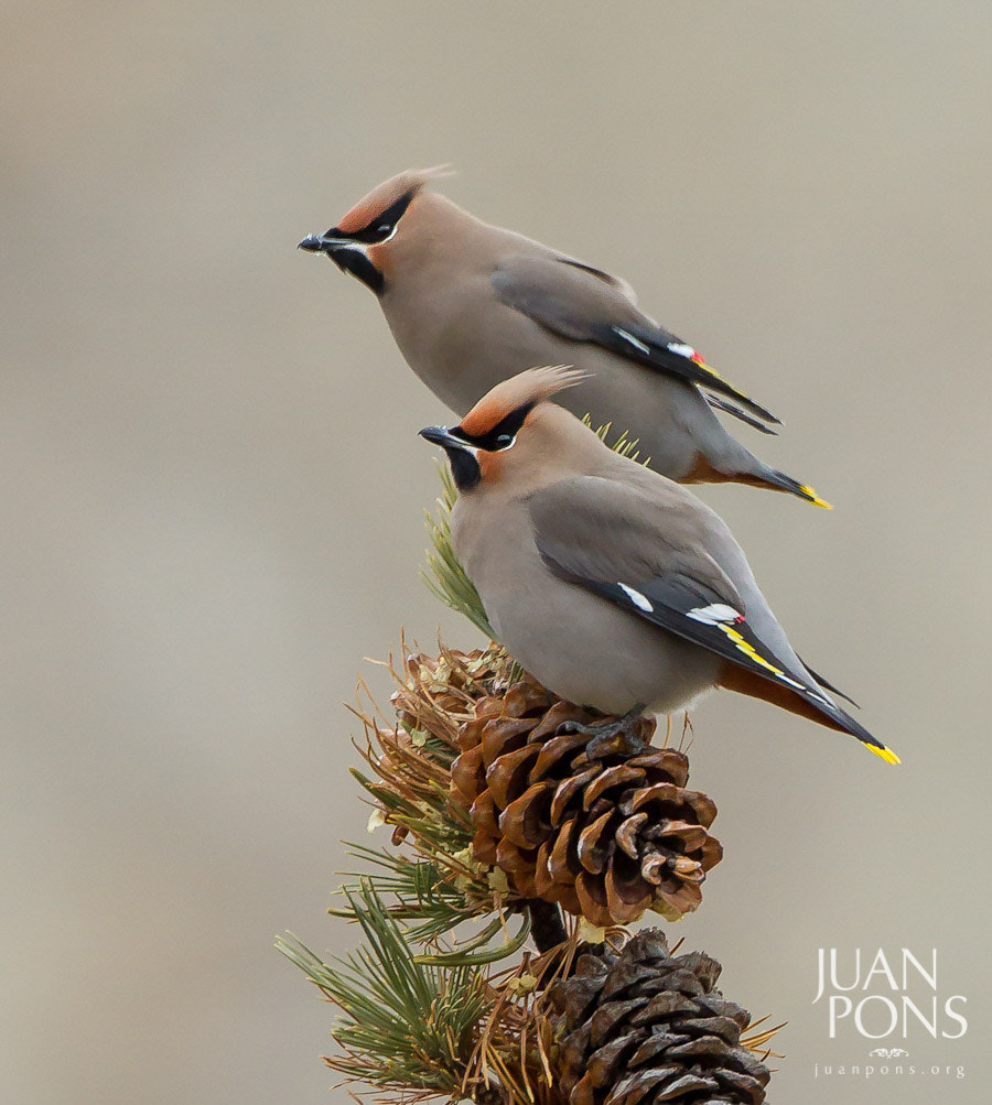 Photograph Bohemian Waxwings, Yellowstone National Park WY by Juan Pons on 500px