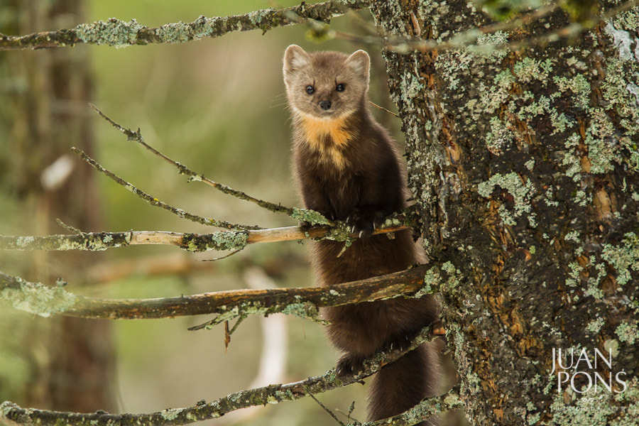 Photograph Pine Marten, Glacier National Park MT by Juan Pons on 500px