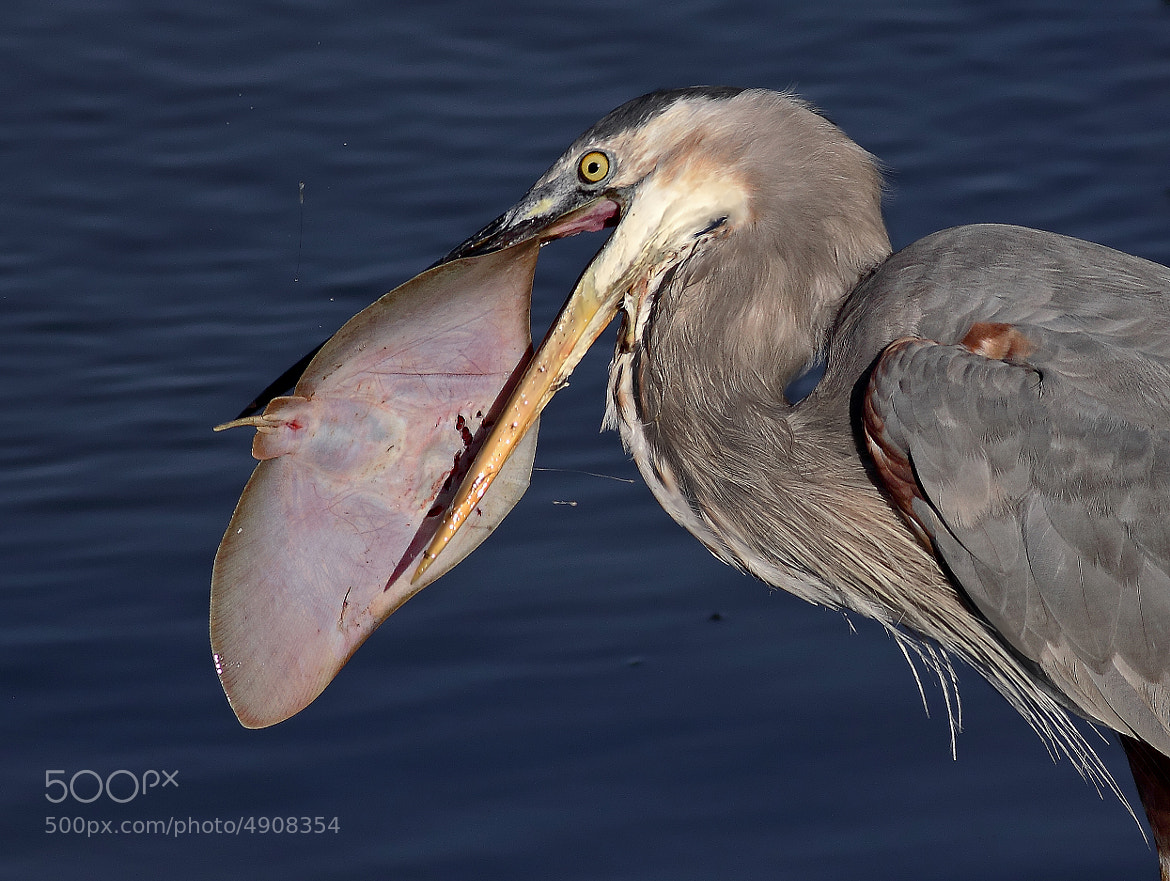 Photograph Great Blue Herons Rule by Salah Baazizi on 500px