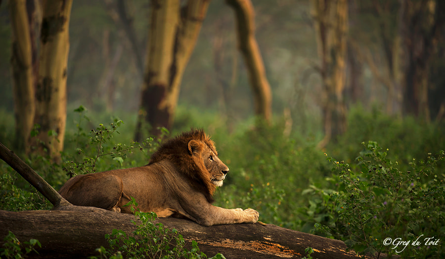 Photograph Forest Lion by greg du toit on 500px