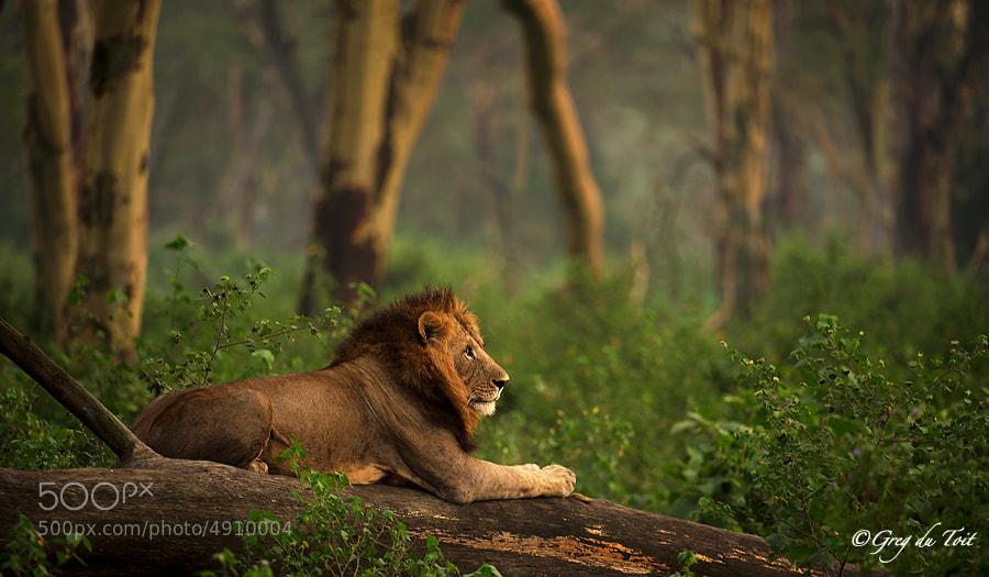 Forest Lion by Greg du Toit