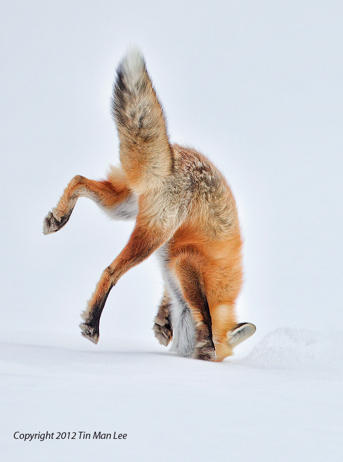 Photograph Ouch my nose! Red Fox Pouncing in Snow by Tin Man on 500px