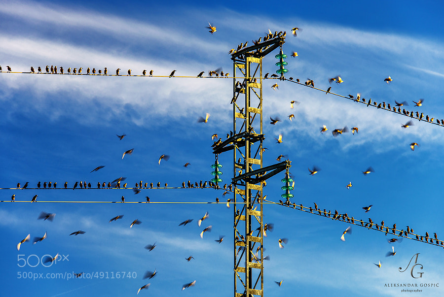 Near the end of the day a group of starlings electricians are negotiating the route to the south and testing their flying equipment