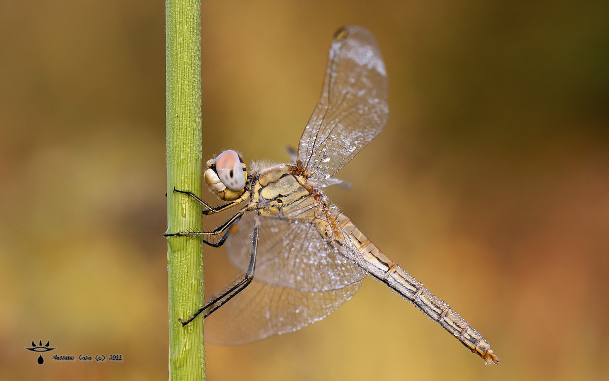 Photograph Libellula - dragonfly by Massimo Casa on 500px