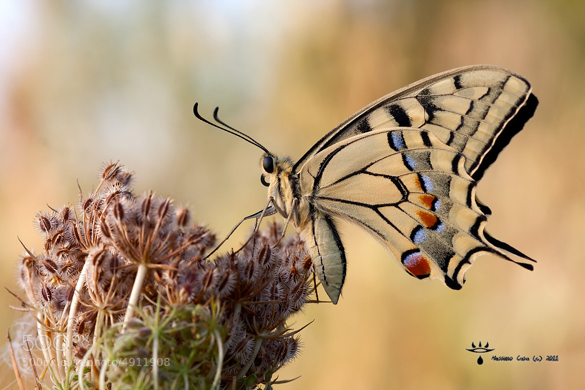 Photograph Papilio Machaon by Massimo Casa on 500px
