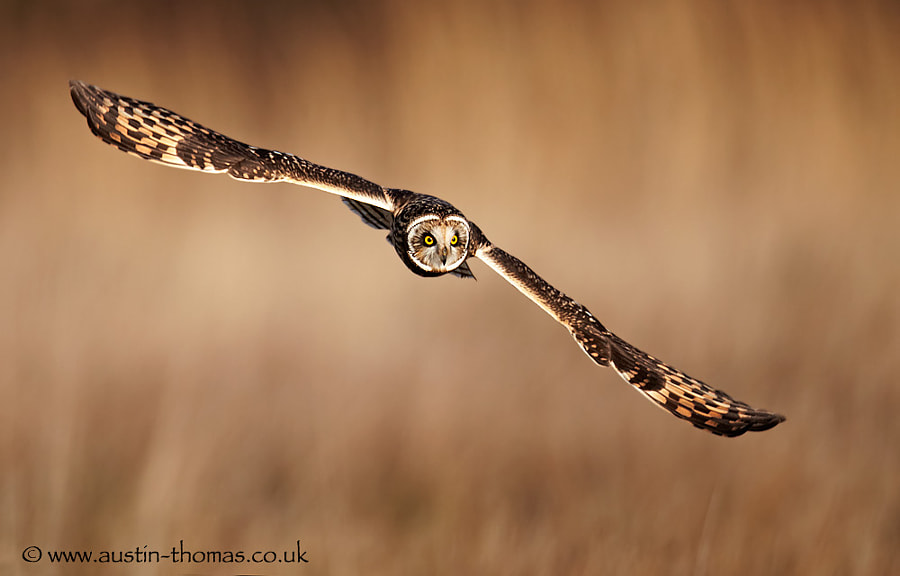 A Short Eared Owl out hunting...