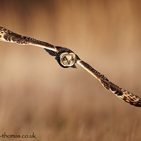 A Short Eared Owl out hunting...  Taken a couple of winters ago close to home.