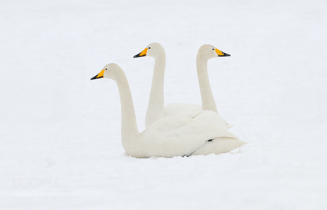 Photograph Three-headed Whooper Swan by Harry  Eggens on 500px