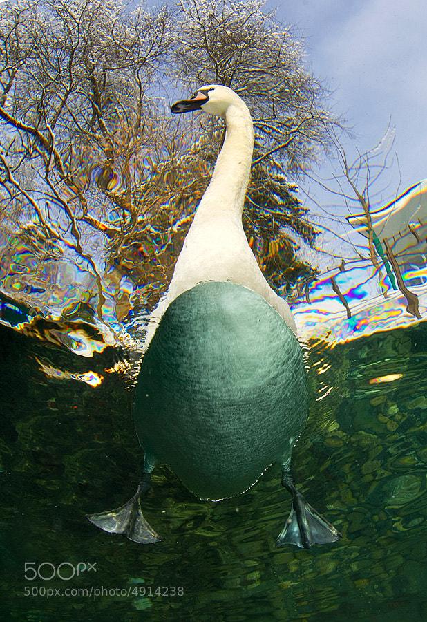 Photograph Swan by Viktor Lyagushkin on 500px