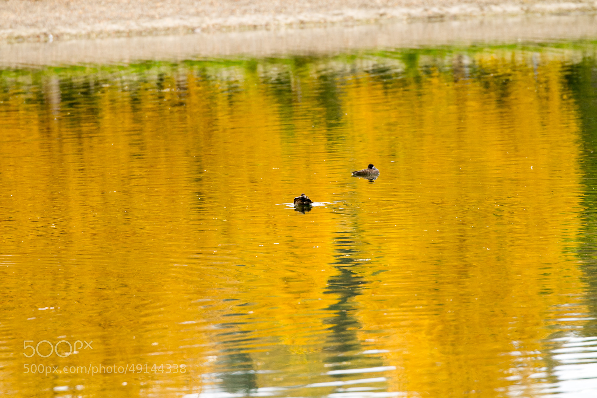 Photograph Ducks on a pond by Ron Palmer on 500px