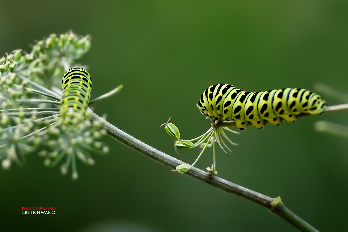 Photograph Two green caterpillars by LEE INHWAN on 500px