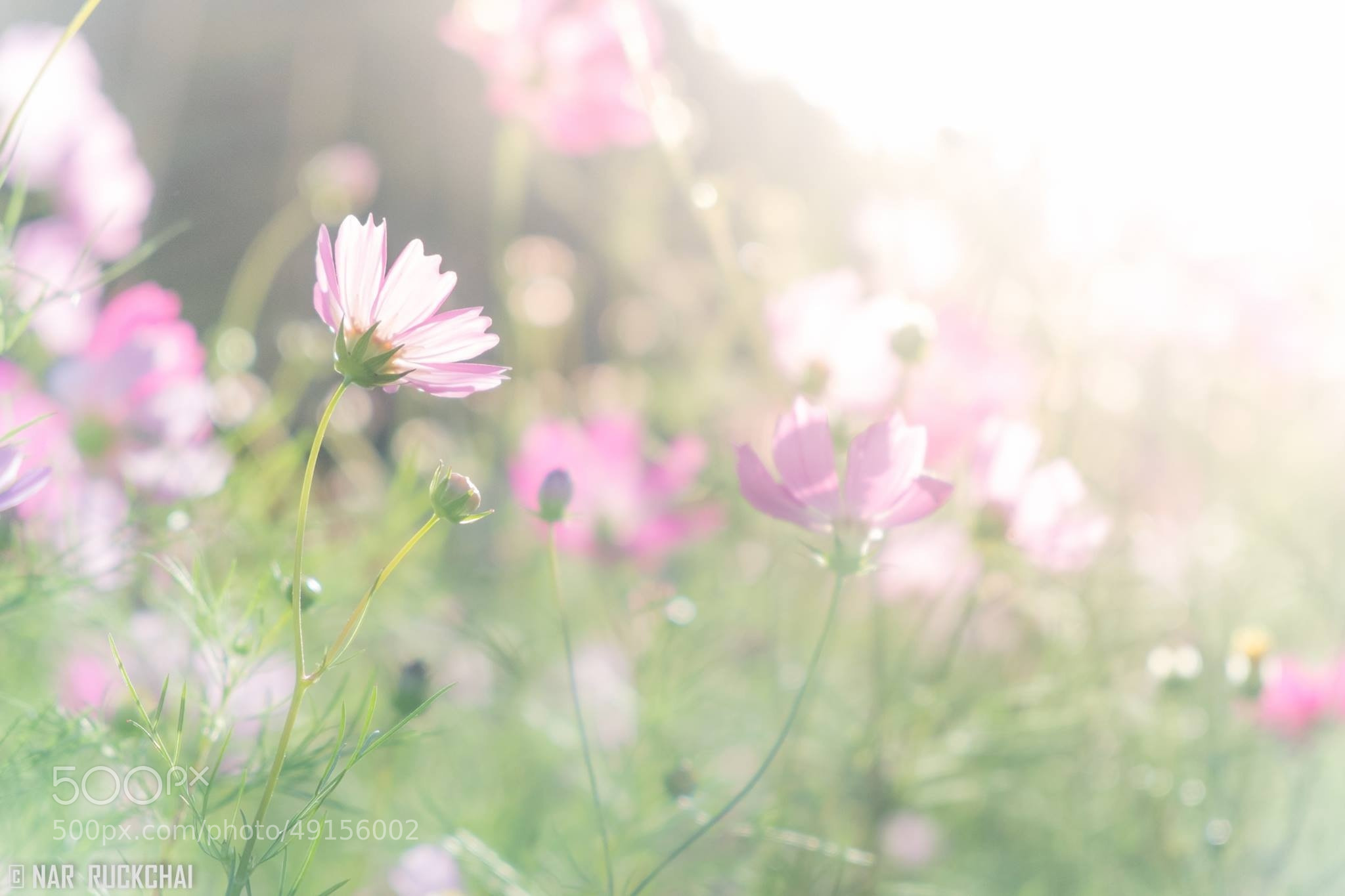 Photograph Cosmos under the sun by Nar Ruckchai on 500px