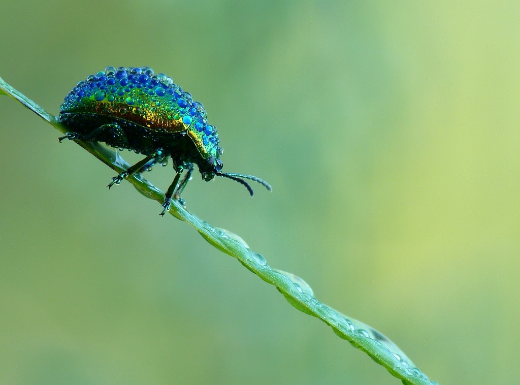 Photograph beetle under  dew drops by liliane Buntinx on 500px
