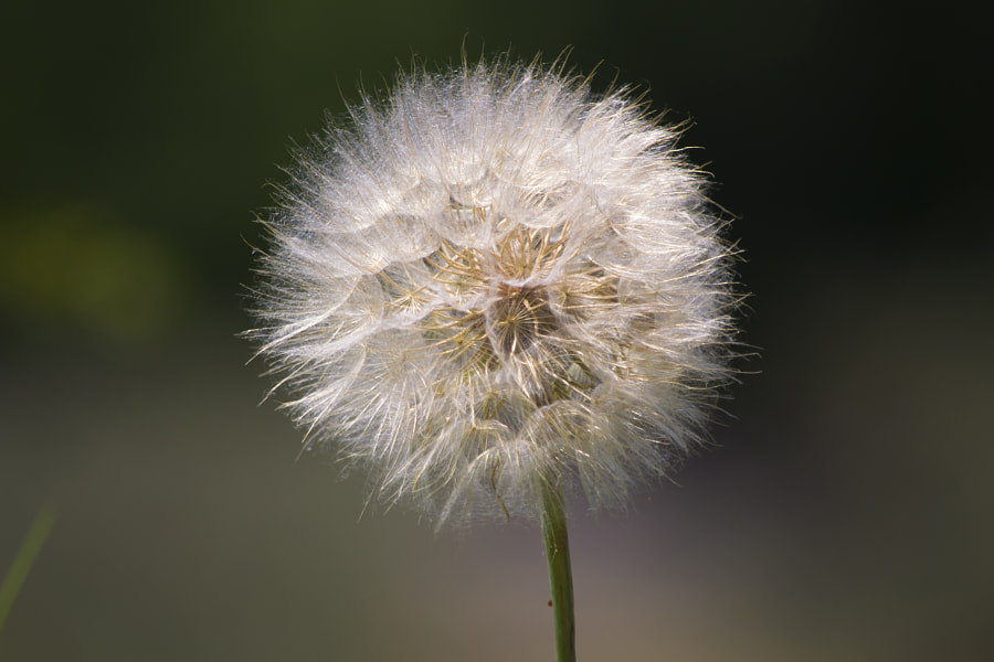 Soft Dandelion by Eleonora Spisni on 500px.com