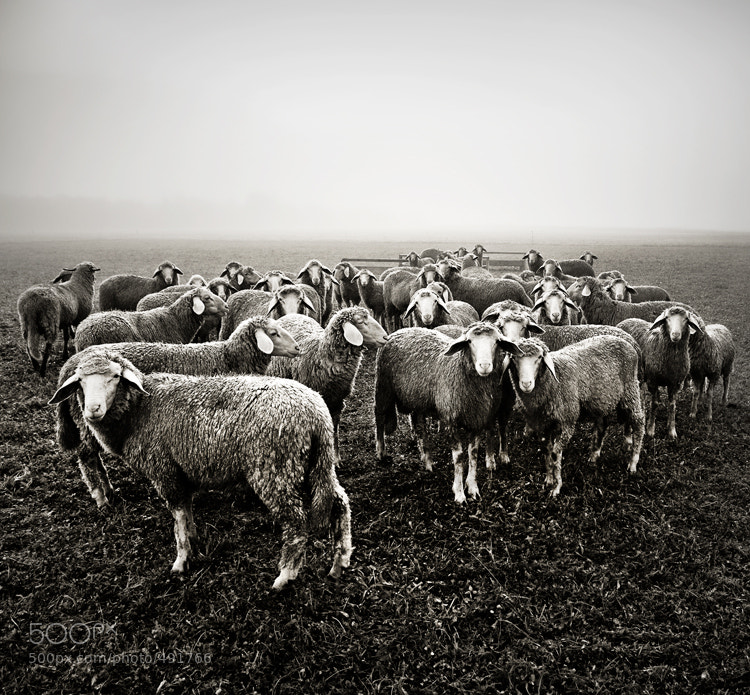 Photograph Sheeps by Bjoern  G on 500px