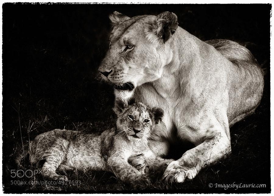 Marsh Pride - African Lion with Cub (Maasai Mara, Kenya)