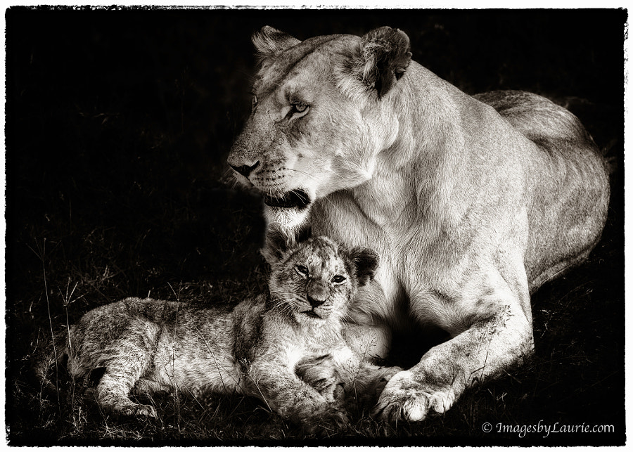 Marsh Pride - African Lion with Cub