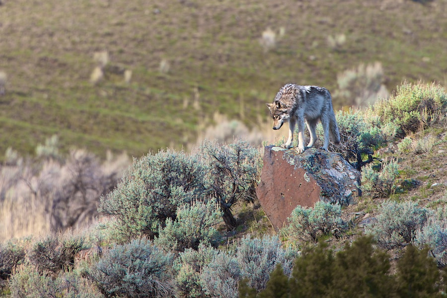 Photograph Yellowstone Wolf by Buck Shreck on 500px