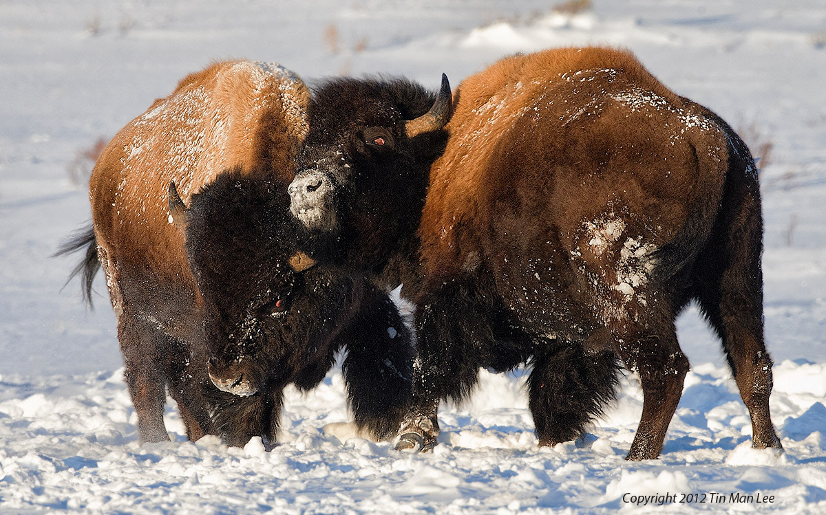 Photograph Bisons Fighting in Snow, Yellowstone National Park by Tin Man on 500px