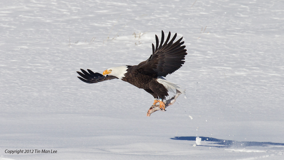 Photograph Bald Eagle Fishing in Snow? Yellowstone National Park by Tin Man on 500px