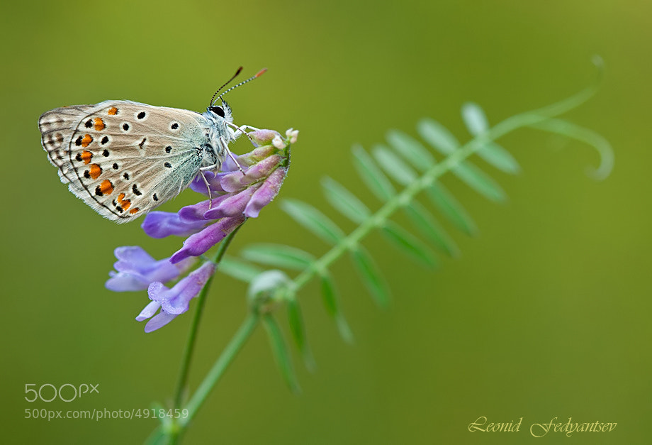 Photograph The Geranium Argus by Leonid Fedyantsev on 500px